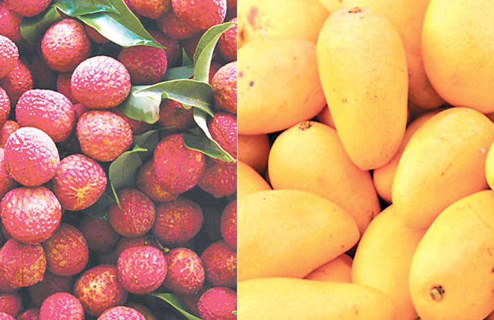 mango litchi -in-bihar