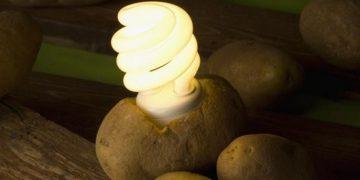 potato bulb